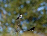 Image of: Hirundo smithii (wire-tailed swallow)