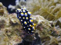 Image of: Nudibranchia (nudibranchs)