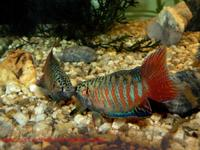 Macropodus opercularis - Chinese Fighting Fish