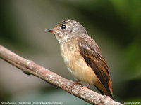 Ferruginous Flycatcher - Muscicapa ferruginea