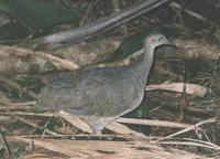 Great Tinamou - Tinamus major