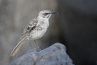 Hood Mockingbird (Nesomimus macdonaldi) photo