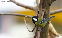Green-backed Tit - Parus monticolus