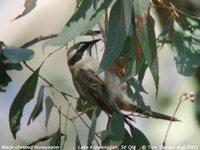 Black-chinned Honeyeater - Melithreptus gularis