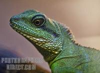 Green Chinese Water Dragon stock photo