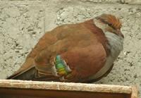 Male Brush Bronzewing Dove phaps elegant