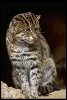 : Felis viverrina; Fishing Cat