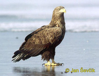 Photo of orel mořský, Haliaeetus albicilla, White-tailed Eagle, See Adler