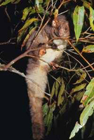 The greater glider, Petauroides volans