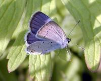 Cupido argiades - Short-tailed Blue