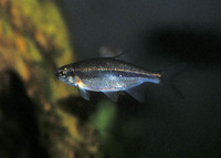 Richardsonius balteatus, Redside shiner: