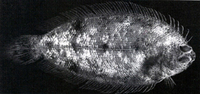 Poecilopsetta plinthus, Tile-colored righteye flounder: