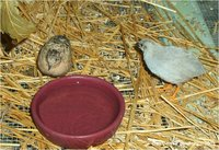 Button Quail Coturnix chinensis