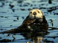 Image of: Enhydra lutris (sea otter)
