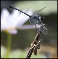Image of: Dythemis nigrescens