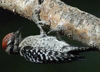 Image of: Picoides scalaris (ladder-backed woodpecker)