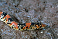 Image of: Rhinocheilus lecontei (long-nosed snake)