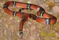 Lampropeltis triangulum - Milk Snake