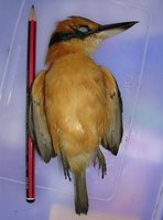 Cinnamon-collared Kingfisher - Todiramphus australasia