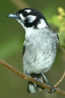 White eared Monarch