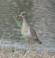 Gray-headed Lapwing - Vanellus cinereus