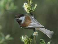 Chestnut-backed Chickadee (Poecile rufescens) photo