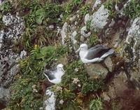 Shy Albatross (Thalassarche cauta) photo