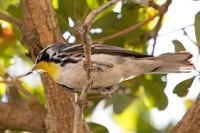 Yellow-throated Warbler - Dendroica dominica