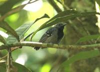 long-winged antwren, male suriname