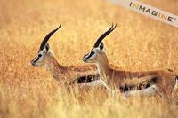 Thomson's Gazelle (Gazella thomsoni) photo