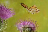Queen of Spain Fritillary ( Issoria lathonia ) stock photo