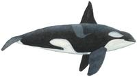 Schwertwal, Orca (Orcinus orca) Killer whale