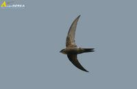 Fig. 1. White-rumped Swift : 칼새