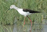 Black-winged Stilt p.118