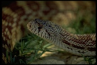 : Pituophis catenifer deserticola; Great Basin Gopher Snake