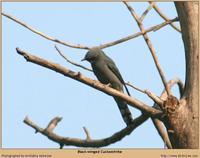Black-winged Cuckooshrike [Coracina melaschistos]