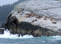 Steller Sea Lions, Chiswell Islands. Copyright Borderland Tours. All rights reserved.