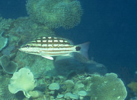 Lutjanus decussatus, Checkered snapper: fisheries, aquarium
