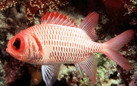 Myripristis hexagona, Doubletooth soldierfish: fisheries