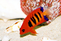 Centropyge loricula, Flame angel: aquarium