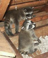 Image of: Procyon lotor (northern raccoon)