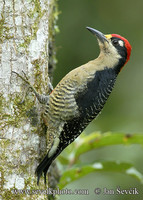 Melanerpes pucherani - Black-cheeked Woodpecker