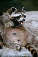 Procyon lotor - Northern Raccoon