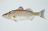 Image of: Morone saxatilis (striped sea-bass)
