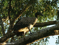 Slender-billed Vulture - Gyps tenuirostris