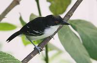 Great Antshrike (Taraba major) photo