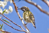 White-eared Honeyeater - Lichenostomus leucotis