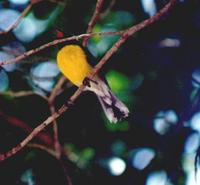 Bananaquit, yellowbreast