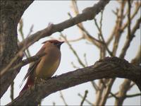 Japanese Waxwing Bombycilla japonica 홍여새