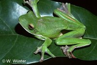 : Litoria infrafrenata; White-lipped Tree Frog